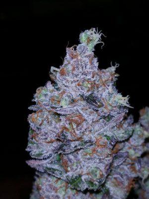go time linda seeds marihuana samen1