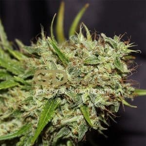 semillas orange haze1
