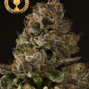 Strawberry-Sour-Diesel-by-The-Devils-Harvest-Seeds-570x708[1]