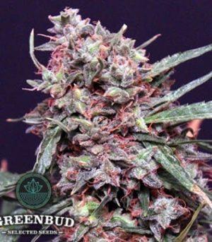 greenbud seeds lemon pie auto1