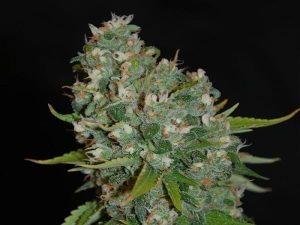 Amnesia XXL Auto - automatyczne nasiona marihuany o dużych plonach