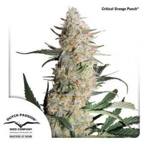 critical orange punch feminized