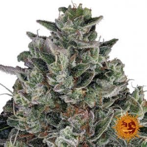glookies barney s farm feminized