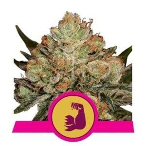 hulkberry feminized