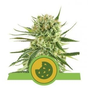 royal cookies automatic feminized