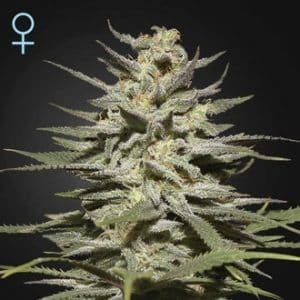 super lemon haze cbd feminized