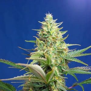 sweet pure auto cbd feminized