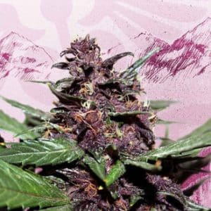 swiss dream rose auto cbd feminized