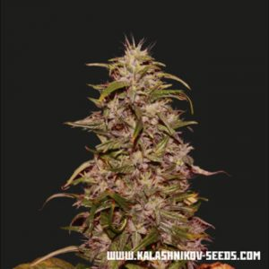 big altai sativa express feminized