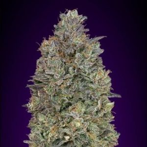 critical purple kush feminized