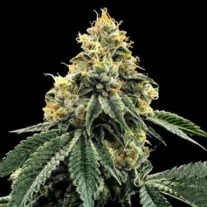 kosher dawg feminized