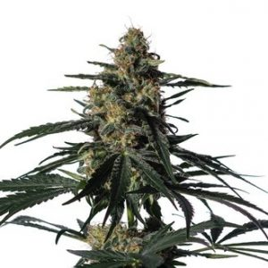 nightingale nn1 feminized