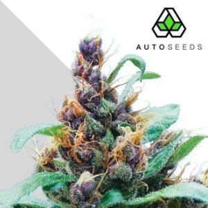 purple cheese autoflowering