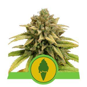 Green Gelato Auto nasiona marihuany