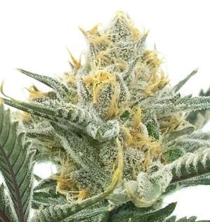 nasiona marihuany carmen poison